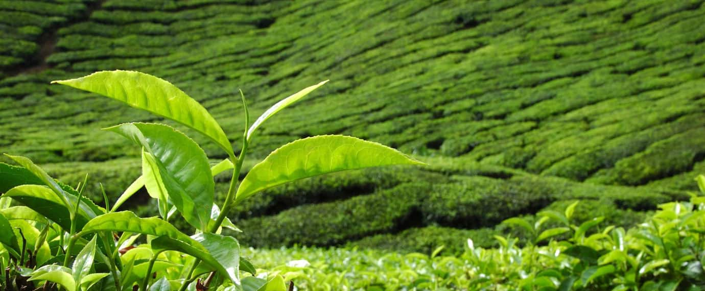 Pure Leaf Sustainabile Tea