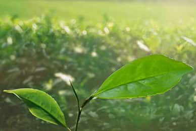 The Importance of Long Leaf Tea