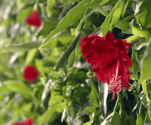 Introduction to Herbal Tea and Hibiscus